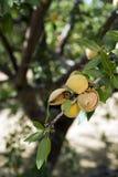 Миндальное дерево Стоковые Изображения RF