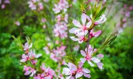 Миндалина в цветени Яркие розовые цветки Стоковая Фотография