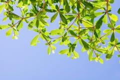 Миндальное дерево Кот-д'Ивуар Стоковое Изображение