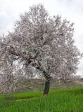 Миндальное дерево цветет с голубым небом с предпосылкой облаков Стоковое Фото