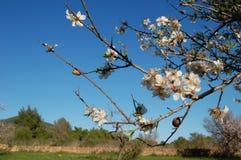 Миндальное дерево Стоковые Фото