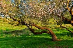 Миндальное дерево Стоковая Фотография