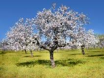 Миндальное дерево стоковое изображение rf
