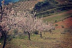 Миндальные деревья в цветении Стоковое Изображение