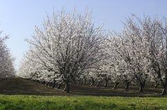 Миндальные деревья в цветени Стоковые Изображения