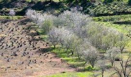 Миндальные деревья с белыми цветениями весной Стоковая Фотография RF