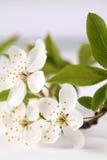 Мирабель цветений Стоковое фото RF