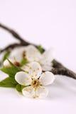 Мирабель цветения Стоковое Фото