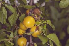 Мирабель дерева, плодоовощи желтого цвета Стоковое Изображение