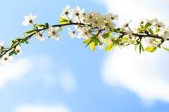 Мирабель цветков зацветая вектор детального чертежа предпосылки флористический Стоковая Фотография RF