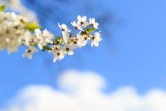 Мирабель цветков зацветая вектор детального чертежа предпосылки флористический Стоковое фото RF