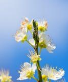Мирабель цветков зацветая вектор детального чертежа предпосылки флористический Стоковое Изображение RF