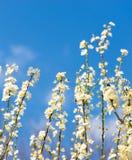 Мирабель цветков зацветая вектор детального чертежа предпосылки флористический Стоковое Изображение