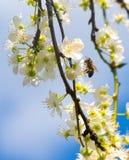 Мирабель цветков зацветая вектор детального чертежа предпосылки флористический Стоковое Фото