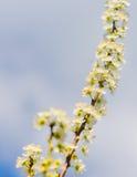 Мирабель цветков зацветая вектор детального чертежа предпосылки флористический Стоковые Изображения