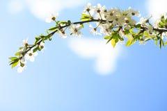 Мирабель цветков зацветая Стоковая Фотография