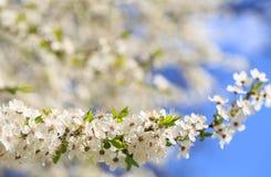 Мирабель цветков зацветая Стоковые Фото