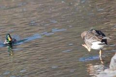 Мирная жизнь милых пар кряквы ducks играть на чисто сценарном кровоточенном озере Стоковая Фотография RF