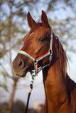 Мирное летнее время взгляда со стороны съемки головы лошади конематки Стоковые Фото