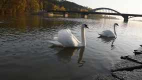 Мирные белые лебеди плавая на реку во время захода солнца осени видеоматериал