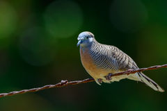 Мирный голубь (placida Geopelia), на загородке колючей проволоки Стоковые Фото