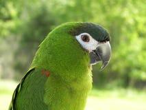 Мирный зеленый цвет птицы ары Hahn стоковые фото
