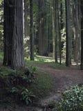 Мирный путь через Redwoods Калифорния Стоковое Изображение