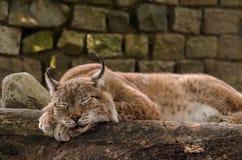 Мирный рысь спать Стоковое Фото