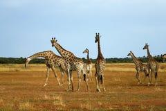 миры giraffe млекопитающиеся сетчатые самые высокорослые Стоковое Изображение