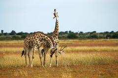 миры giraffe млекопитающиеся сетчатые самые высокорослые Стоковое Изображение RF