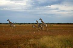 миры giraffe млекопитающиеся сетчатые самые высокорослые Стоковое фото RF