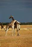 миры giraffe млекопитающиеся сетчатые самые высокорослые Стоковое Фото