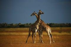 миры giraffe млекопитающиеся сетчатые самые высокорослые Стоковые Изображения