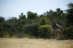 миры giraffe млекопитающиеся сетчатые самые высокорослые Стоковая Фотография