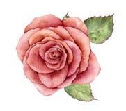 Мир акварели поднял Вручите покрашенный винтажный цветок при листья изолированные на белой предпосылке Ботаническая иллюстрация д иллюстрация штока