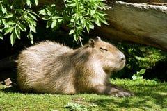 мир грызуна capybara самый большой живущий Стоковые Фото