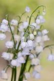 мир глуши долины природы лилии русский Цветок древесина Стоковые Изображения RF