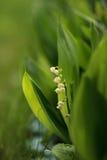 мир глуши долины природы лилии русский Стоковые Фото
