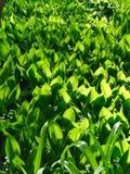 мир глуши долины природы лилии русский Стоковое Фото