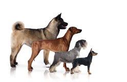 мир глуши природы группы собак русский стоковое изображение rf