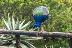 Мир дикого животного Павлин сидя на перилах загородки Стоковая Фотография