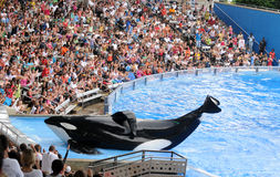 мир кита моря orlando убийцы Стоковое фото RF