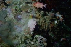 мир моря 7 andaman кораллов удивительно Стоковая Фотография RF