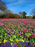 Мир тюльпанов и цветков Стоковая Фотография RF