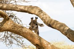 Мир Herit зоны NCA консервации Ngorongoro Giraffa жирафа Стоковая Фотография