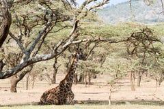 Мир Herit зоны NCA консервации Ngorongoro Giraffa жирафа Стоковые Изображения