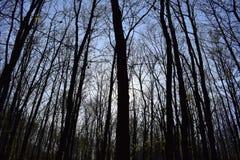 Мистические лесные деревья без листьев против голубого неба без облаков на весенний день стоковое изображение rf