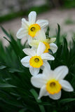 Мифология Narcissus стоковое изображение rf