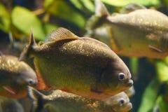 Мифы окружают красные piranhas Стоковое Изображение RF