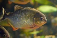 Мифы окружают красные piranhas Стоковое Изображение